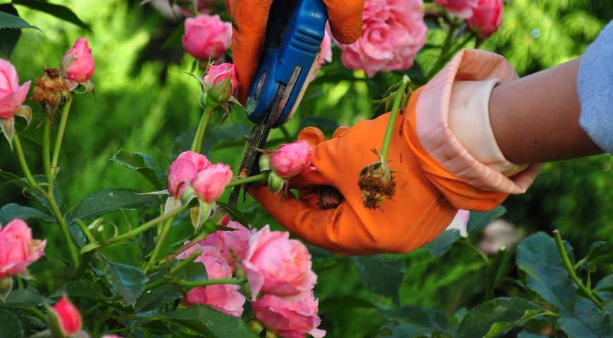 Розы. Уход за цветами в разное время года | Садоводство и ...